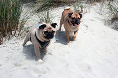 Pug Dogs on a beach exploring. Pug cross dogs exploring a beach Royalty Free Stock Photos