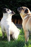Pug dogs outside looking up portrait royalty free stock images
