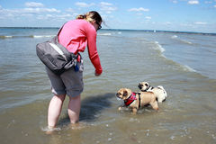 Pug Dogs and owner paddling in the sea Stock Photo