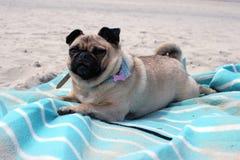 Pug Dogs sat on a beach landscape Stock Photos