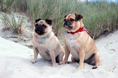 Pug Dogs sat on a sandy beach landscape Stock Photo