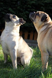 Pug dogs standing on grass portrait Stock Photo