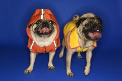Pug dogs wearing jackets. Stock Photos