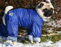 Pug dressed in blue. Sweet pug dressed in blue Royalty Free Stock Photography