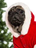 Pug dressed with a Christmas suit royalty free stock photography