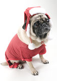 Pug Dressed Up for Christmas Royalty Free Stock Image