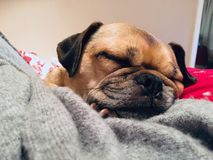 Pug dwarsslaap op dekens die behaaglijk kijken Stock Afbeeldingen