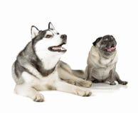 Pug e cão de puxar trenós siberian fotografia de stock royalty free