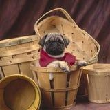 Pug in een mand Royalty-vrije Stock Afbeeldingen