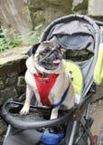 Pug in einem Buggy Stockbilder