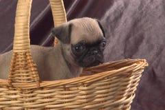 Pug in einem Korb Stockfotografie