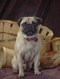 Pug in einem Korb Stockfoto