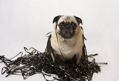 Pug in einem Stapel des Daten-Bandes Stockfotografie
