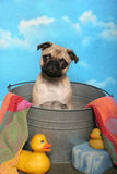 Pug in einer Bad-Wanne Stockfotografie