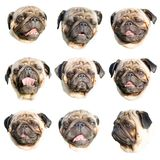 Pug emoji. Set of portraits of a pug dog with different muzzle expressions. Isolated on white background stock photo