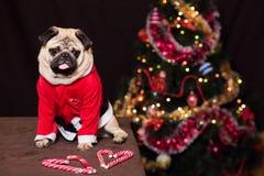 Pug engraçado do Natal com o bastão de doces que senta-se no traje de Santa Claus perto da árvore do ano novo Foto de Stock Royalty Free