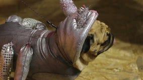 Pug engraçado que demonstra o traje de prata criativo da criatura cósmica na exposição de cães video estoque