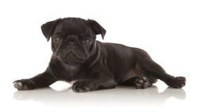 Pug fêmea do filhote de cachorro Imagem de Stock Royalty Free