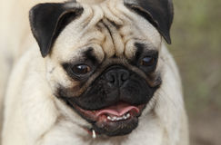 Pug Face Royalty Free Stock Photography