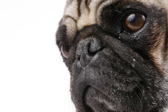 Pug Face Royalty Free Stock Image