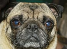 Pug face. A pug dog  has a face that makes a black heart on forehead when it frowns. So adorable Stock Photo