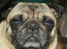 Pug face Stock Photo