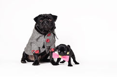 Pug Father and his son Stock Image