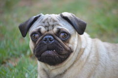 Pug. Fawn colour pug with close-up facial expression stock photo