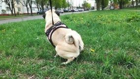 Pug female dog peeing, urinating on the grass