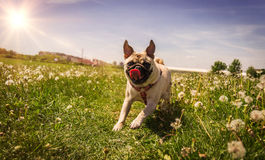 Pug in Field Royalty Free Stock Image
