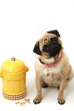 Pug & Fire Hydrant. Pretty Female Pug cocking her head and sitting beside a fire hydrant cookie jar Royalty Free Stock Photography