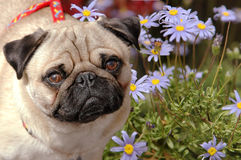 Pug in a flower field. Cute little pug dog in a blue flower field Royalty Free Stock Images