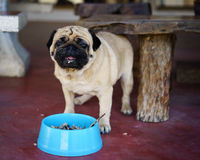 Pug with food Royalty Free Stock Photography
