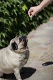 Pug with food. Royalty Free Stock Image