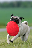 Pug with frisbee disc Stock Photography