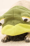 Pug in Frog Costume Stock Photo