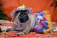 Pug fulvo clothing. Pug fawn dressed hillbilly outfit for June Festival celebrations Stock Photography