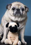 Pug with a furry friend Stock Photos