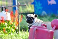 Pug in the garden. Stock Photos