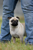 Pug get to safety Stock Photography