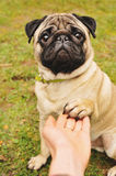 Pug giving paw Stock Images
