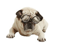 Pug with glasses. Exempted, white background, recumbent, cutout Stock Image