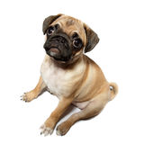 Pug gog Stock Photos
