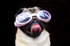 Pug with goggles. Pug wearing swimming goggles and sticking his tongue out Royalty Free Stock Photo