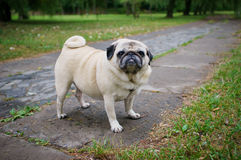 Pug gordo fora Imagens de Stock