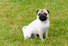 Pug on grass. Stock Image