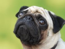 Pug on green background Stock Images