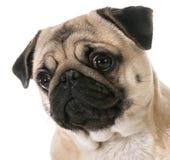 Pug head portrait Stock Photo