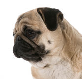 Pug head portrait Stock Photo