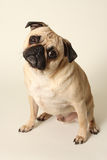 Pug Head Tilt Stock Photos